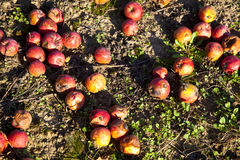 Windfall fruits on the meadow Royalty Free Stock Photography