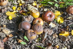 Windfall on the ground in autumn Royalty Free Stock Photography