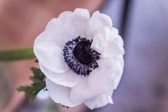 Windflower στα ελληνικά Μόνο Windflower στα ελληνικά Ενιαίο Windflower στα ελληνικά Στοκ φωτογραφία με δικαίωμα ελεύθερης χρήσης