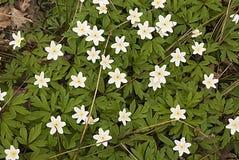 windflower Zdjęcie Royalty Free