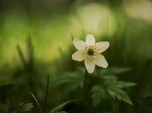 windflower Стоковая Фотография