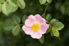 Windflower Royalty Free Stock Photography