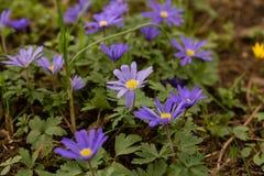 windflower Imagem de Stock Royalty Free