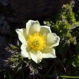 Windflower alpino di Alpina del Pulsatilla del fiore, la valle d'Aosta, Italia Immagine Stock
