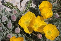 Windflower Anemone Stock Photo