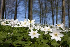 Windflower (Anemone nemorosa) Stock Image