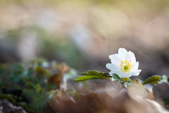 Windflower (Anemone nemorosa) Stock Photo