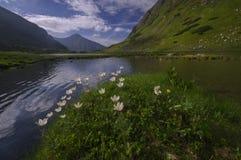 Windflower blommar på den Rackove plesosjön, västra Tatras Arkivbilder