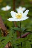 Windflower. The blossom of the windflower (Anemone nemorosa). This flower has few common names - wood anemone, windflower, thimbleweed, smell fox and helmet royalty free stock photo