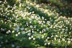 Windflower, bosque en la primavera Imagen de archivo libre de regalías