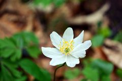 Windflower branco Imagens de Stock