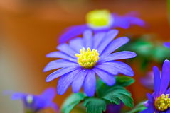 Windflower Royalty Free Stock Photo