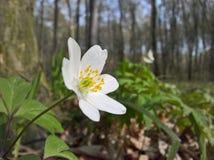 Windflower d'anémone - bois Image libre de droits