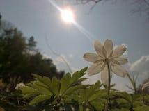 Windflower d'anémone - le soleil heureux Photos libres de droits