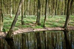 Windflower en bosque en la charca Foto de archivo libre de regalías