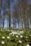 Windflower (nemorosa do Anemone) Fotos de Stock