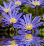 Windflower reflejado en agua imagen de archivo libre de regalías