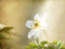 Windflower , romantic background, textured. Royalty Free Stock Photo