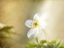 Windflower, romantische geweven achtergrond. Royalty-vrije Stock Foto