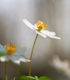 Windflower on smooth background Royalty Free Stock Images