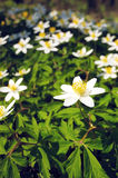 Windflower, wood anemone. First spring wild flowers - Anemone nemorosa stock photos