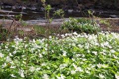 Windflowers στο δάσος Στοκ Εικόνες