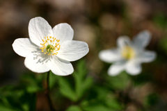 Windflowers Image stock