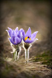 Beautiful purple Spring flowers Royalty Free Stock Image