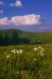 Windflowers i Velka Fatra berg Arkivbild