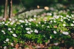 Windflowers im Wald Lizenzfreie Stockbilder