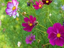 Windflowers púrpuras con la abeja Fotografía de archivo libre de regalías