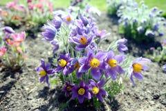 Windflowers w wiośnie zdjęcia stock