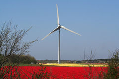 Windgenerator in flower bulbs field as far as the eye can see, attracts many tourists. Stock Photography