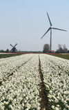 Windgenerator in flower bulbs field as far as the eye can see, attracts many tourists. Stock Photo