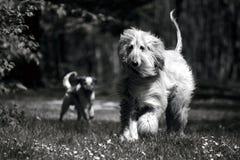 Windhond Afghaan - Zwarte & Wit. Royalty-vrije Stock Afbeeldingen