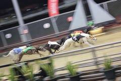 Windhond het rennen Stock Fotografie