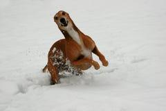 Windhund Stockbild