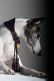 Windhund Lizenzfreies Stockfoto