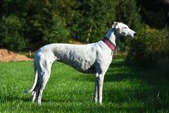Windhund Stockfoto