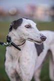 Windhund auf Gras Stockfotos