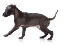 Windhund auf weißem Hintergrund Lizenzfreies Stockbild