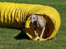 Windhund aus dem Tunnel heraus Lizenzfreies Stockbild