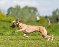 Windhund, der über ein Feld von der Seite läuft lizenzfreies stockbild