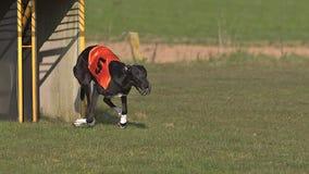 Windhund-Hund, Erwachsener, der im Kasten stehen und Betrieb während des Rennens stock footage