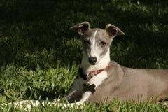 Windhund im Gras Stockfotos
