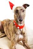 Windhund im Weihnachtskostüm Lizenzfreies Stockbild