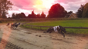 windhunde Lizenzfreies Stockfoto