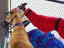 Windhunde erfassen zusammen Stockbild