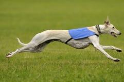 Windhundköderkursieren Lizenzfreies Stockfoto