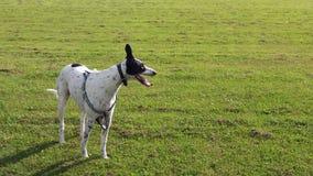 Windhundkreuz Lizenzfreie Stockfotos